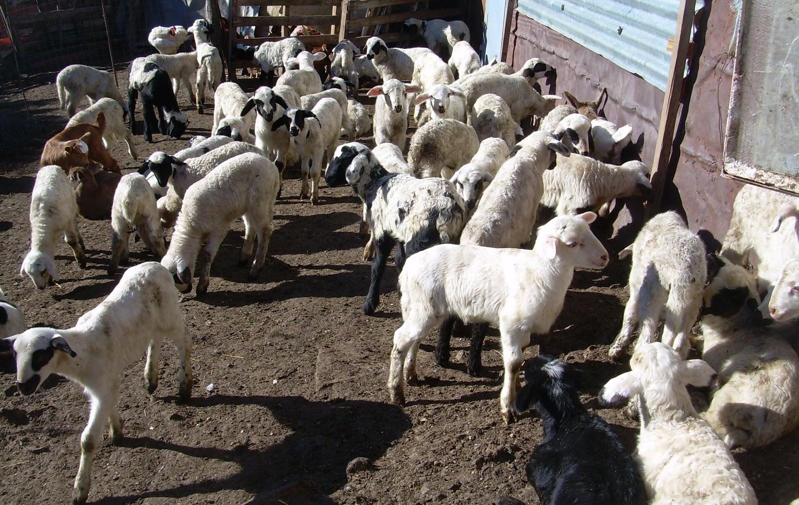Ψηλά και απρόβλεπτα οι τιμές ζωοτροφών που ζορίζουν την κτηνοτροφία